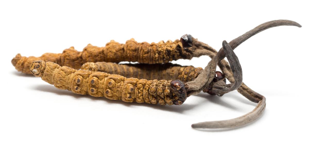 Cordyceps Sinensis – Himalajsko Zlato